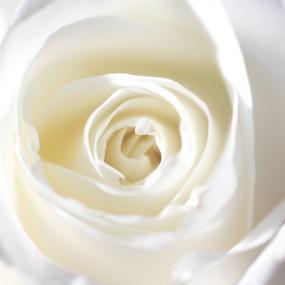 Weiße_Rose_001