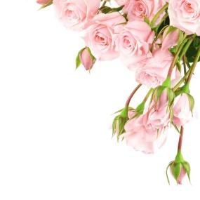 Rose_0027