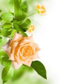 Rose_004