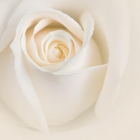 Rose_008