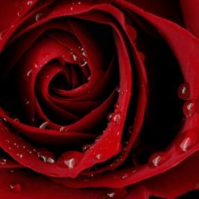 Rose_010