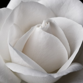 Rose_012