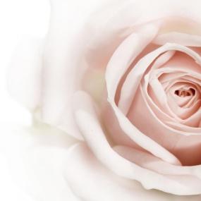 Rose_013