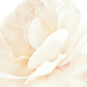 Rose_016