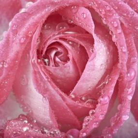 Rose_018