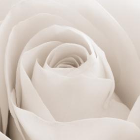 Rose_019