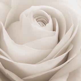 Rose_021