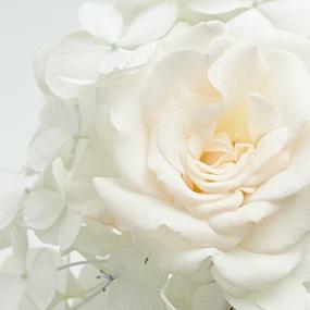 Rose_025
