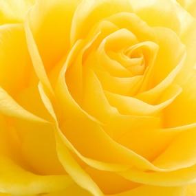 Rose_026