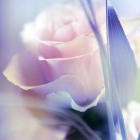 Rose_028
