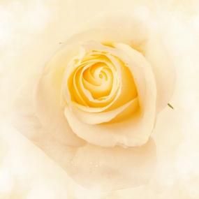 Rose_030