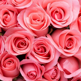 Rose_035